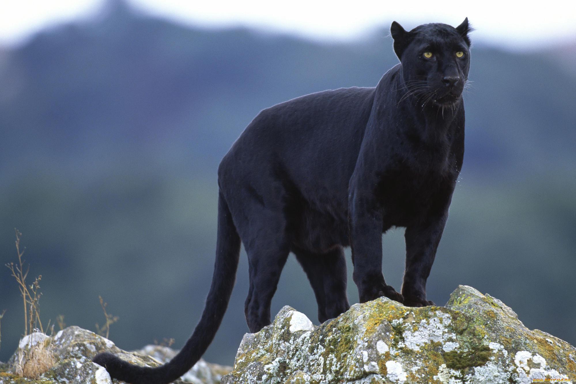пума животное фото черная пума этом изображении